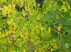 Aspen Starting to Turn COlor September 2009